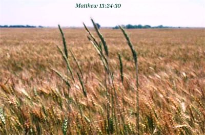 wheat-tares